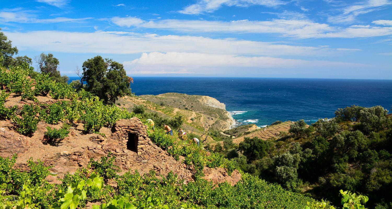 Collioure, the postcard vineyard